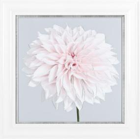 Pink Aldahlias 66.5cm x 66.5cm